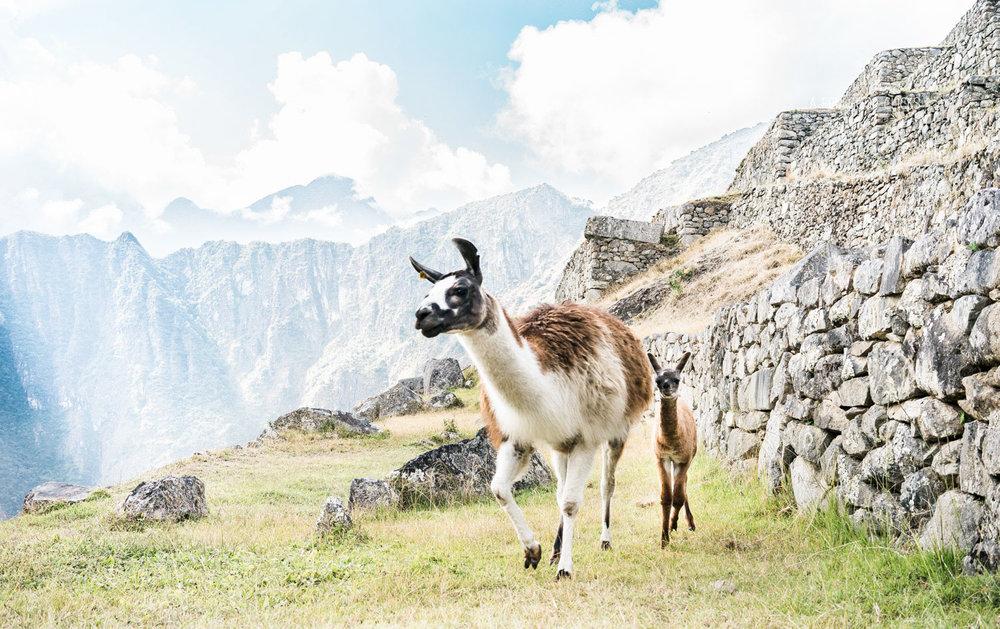 Llama With Calf Machu Pichu Peru Top Places To See